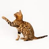 Jogo do gato de Bengal Fotos de Stock
