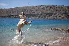 Jogo do golden retriever no mar Imagens de Stock