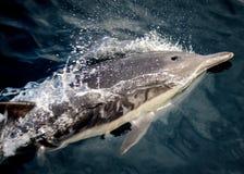 Jogo do golfinho Fotografia de Stock