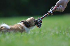 Jogo do jogo do filhote de cachorro da chihuahua com o brinquedo na mão da mulher Foto de Stock Royalty Free