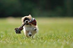 Jogo do jogo do filhote de cachorro da chihuahua com o brinquedo na mão da mulher Fotos de Stock