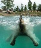 Jogo do maritimus do Ursus do urso polar foto de stock