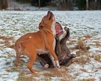 Jogo do pitbull que luta com o buldogue do inglês de Olde imagens de stock