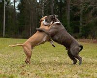 Jogo do pitbull que luta com o buldogue do inglês de Olde fotos de stock royalty free