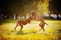Jogo do ridgeback de dois cães Imagens de Stock Royalty Free