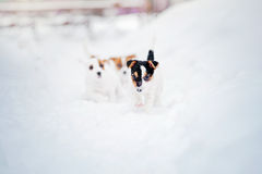 Jogo do terrier de Jack Russel de dois filhotes de cachorro Imagens de Stock Royalty Free