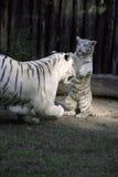 Jogo do tigre Imagens de Stock Royalty Free