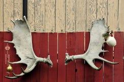 Jogo dos antlers dos alces Fotografia de Stock