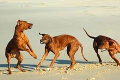 Jogo dos cães Fotos de Stock Royalty Free