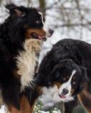 Jogo dos cães de montanha de Bernese Fotos de Stock Royalty Free