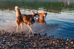 Jogo dos cães na água Corrida do cão de puxar trenós Siberian do retrato dois ao longo da água pouco profunda do rio perto da cos Foto de Stock Royalty Free