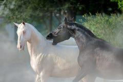 Jogo dos cavalos de Achal-teke Fotos de Stock