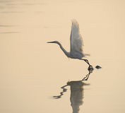 Jogo dos Egrets no por do sol Fotografia de Stock Royalty Free