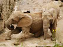 Jogo dos elefantes Fotos de Stock