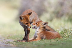 Jogo dos filhotes da raposa vermelha Fotografia de Stock
