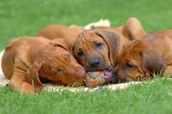 Jogo dos filhotes de cachorro Fotos de Stock Royalty Free