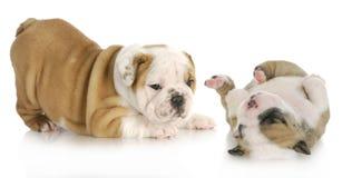 Jogo dos filhotes de cachorro Foto de Stock