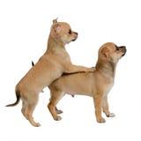 Jogo dos filhotes de cachorro da chihuahua imagens de stock royalty free