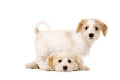 Jogo dos filhotes de cachorro isolado em um fundo branco Fotografia de Stock Royalty Free