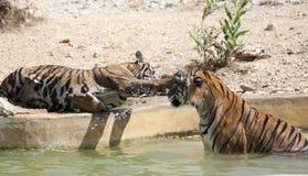 Jogo dos filhotes de tigre Fotografia de Stock