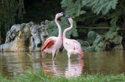 Jogo dos flamingos Fotografia de Stock