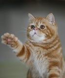 Jogo dos gatos Fotografia de Stock Royalty Free