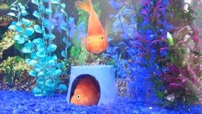 Jogo dos peixes de Parot Imagens de Stock Royalty Free