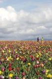 Jogo em campos do Tulip Fotografia de Stock