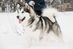 Jogo exterior na neve, estação do Malamute do Alasca do inverno playful foto de stock royalty free