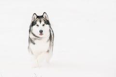 Jogo exterior na neve, estação do Malamute do Alasca do inverno playful fotografia de stock royalty free