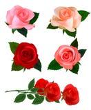 Jogo grande do rosas bonitas. Vetor Foto de Stock Royalty Free