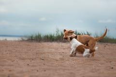 Jogo Jack Russell Terrier e Toller Imagem de Stock Royalty Free