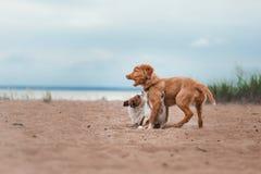 Jogo Jack Russell Terrier e Toller Imagens de Stock Royalty Free