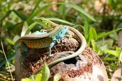 Jogo Multicoloured dos lagartos Imagens de Stock Royalty Free