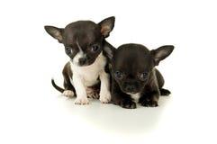 Jogo pequeno bonito do cachorrinho da chihuahua dois fotografia de stock