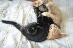 Jogo pequeno brincalhão engraçado dos gatinhos do cabelo do vermelho dois e do gato malhado Foto de Stock Royalty Free
