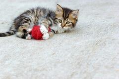 Jogo pequeno do gatinho (Maine Coon) Fotos de Stock Royalty Free