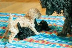 Jogo preto e bege do cachorrinho um com o otro fotos de stock