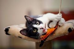 Jogo preto e branco engraçado do gato Foto de Stock Royalty Free