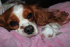Jogo recém-nascido do cão e do coelho do coelho do bebê O cachorrinho descuidado do spaniel de rei Charles e poda animais junto imagens de stock