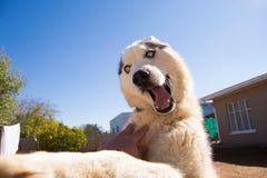 Jogo ronco do cão fotos de stock royalty free