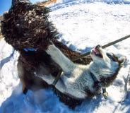 Jogo ronco e preto novo de Terrier do russo que luta na neve imagem de stock royalty free