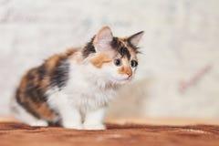 Jogo tricolor bonito do gatinho foto de stock