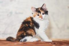 Jogo tricolor bonito do gatinho imagem de stock