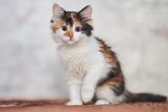 Jogo tricolor bonito do gatinho fotos de stock