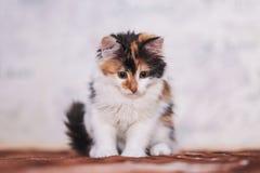 Jogo tricolor bonito do gatinho fotos de stock royalty free