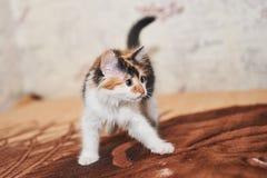 Jogo tricolor bonito do gatinho fotografia de stock