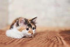 Jogo tricolor bonito do gatinho imagem de stock royalty free