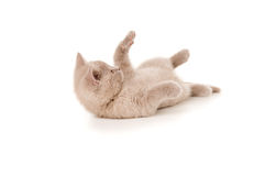 Jogos britânicos do gatinho do puro-sangue pequeno Foto de Stock