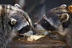 Jogos de amor dos raccoons Foto de Stock